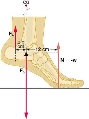 <b>Figure 9.41</b> The muscles in the back of the leg pull the Achilles tendon when one stands on one's toes. A simplified lever system is shown.